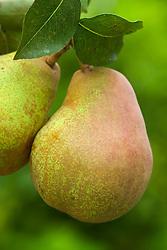 Pear 'Doyenne du Comice' - Pyrus