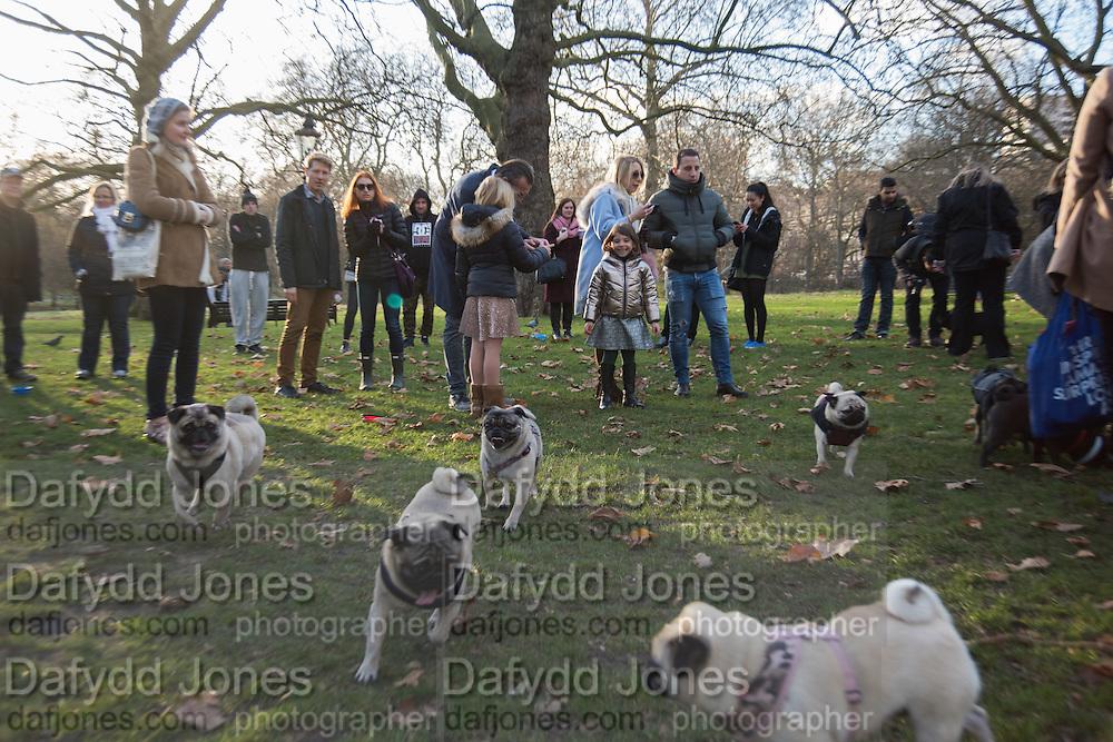 Pug Meetup, St. James's Park. 3 December 2016