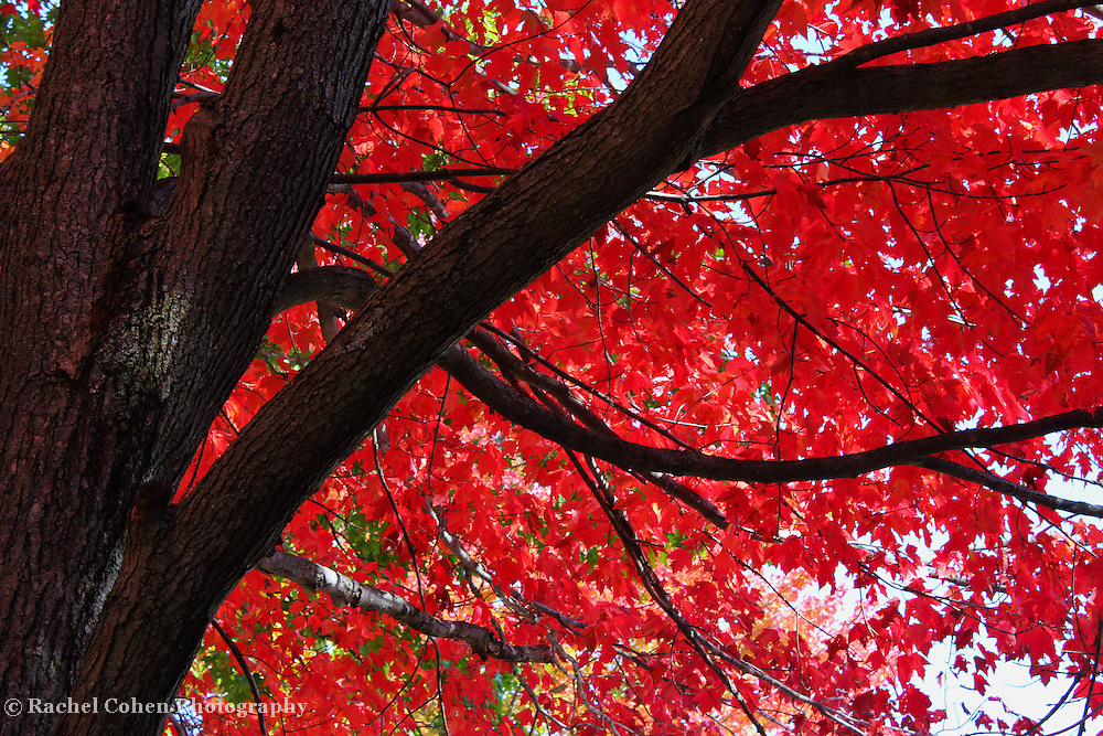 """""""Under the Reds""""<br /> <br /> A beautiful and striking contrast of the Sugar Maple in fall! Brilliant red leaves against the deep darkness of the tree trunk and branches create a wonderful and vibrant fall image!!<br /> <br /> Fall Foliage by Rachel Cohen"""