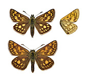 Chequered Skipper - Carterocephalus palaemon. Male (top) - female (bottom). Wingspan 25mm. An attractive little butterfly that attracts conservation interest. Hides in deep cover on dull days; active and fast-flying on sunny days but fond of sunbathing. Adult has rich brown upperwings with orange-yellow spots; underwings are paler brown than upperwings, with pale spots. Flies May–June. Larva is nocturnal and feeds on various grasses. Very locally common in open birchwoods in northwest Scotland; used to live in England but now extinct there.