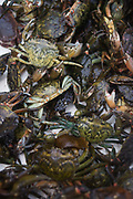 Creel-caught Velvet and Green Crab fished between Fionnphort and Iona, Isle of Mull, Scotland. The contents of 500 creels is taken every week by truck and sold to Spain. On each line are 25 creels that are spaced out in different areas of the nearby bays. The main fishing on the Ross of Mull, Ulva Ferry and Tobermory is now is commercial shell fishing with baited traps(creels) for lobsters (homarus gamarus), edible brown crabs( cancer pagurus), Prawn (Norwegian Lobster) and velvet swimming crab (necora puber). Scallop dredgers and Prawn trawlers also operate from both ends of the island, dragging the seabed for their catch. Before the late 1960s shell fishing with creels was generally carried out on a seasonal or part time basis allied to crofting, farming or another shore based job. Small boats today still operate this way.