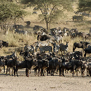 Wildebeest (Connochaetes taurinus) During migration in Serengeti National Park, more than 200,000 zebras migrate along side one million wildebeest and 300,000 Thomson's gazelles. Tanzania. Africa. February...Wildebeest (Connochaetes taurinus) During migration in Serengeti National Park, more than 200,000 zebras migrate along side one million wildebeest and 300,000 Thomson's gazelles. Tanzania. Africa. February...Wildebeest (Connochaetes taurinus) During migration in Serengeti National Park, more than 200,000 zebras migrate along side one million wildebeest and 300,000 Thomson's gazelles. Tanzania. Africa. February...Wildebeest (Connochaetes taurinus) During migration in Serengeti National Park, more than 200,000 zebras migrate along side one million wildebeest and 300,000 Thomson's gazelles. Tanzania. Africa. February.