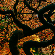 Autumn Color with a New Twisted Vine Maple.