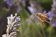 A western honeybee (Apis mellifera) pollinating lavender ( Lavandula angustifolia) in western Oregon. © Michael Durham / www.DurmPhoto.com