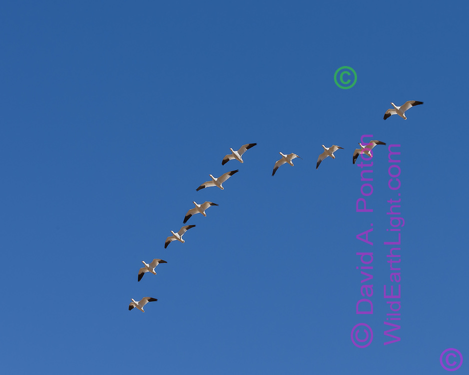 Snow geese flying overhead in characteristic angular formation for efficiency, blue sky, middle Rio Grande Valley, New Mexico, © David A. Ponton