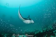 manta ray, Manta alfredi (formerly Manta birostris ), feeding on plankton among silversides, Hanifaru Bay, Baa Atoll, Maldives ( Indian Ocean )