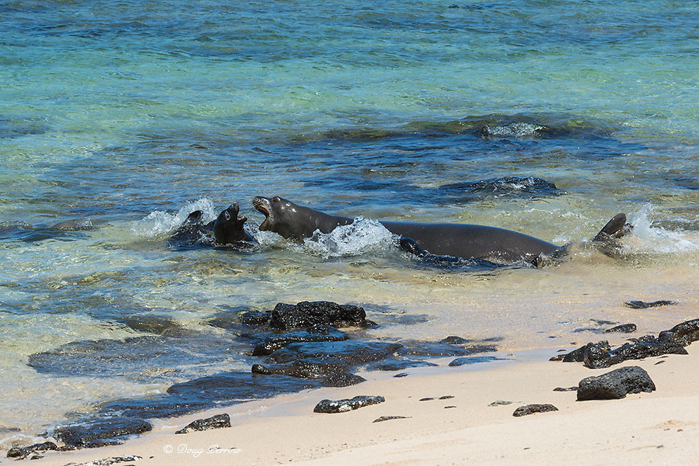 Hawaiian monk seals, Neomonachus schauinslandi ( Critically Endangered endemic species ), female with two day old pup charges four week old pup that approached from the water, Kalaupapa, Molokai, Hawaii, USA (older pup's mother is at left of frame, underwater; younger pup is by its mother's side)