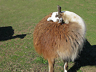 a llama tends to an itch on her back with the shadow of another llama watching.