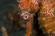 Common seahorse (Hippocampus taeniopterus) in Lembeh Strait, Indonesia