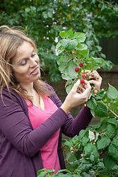 Harvesting soft fruit -  raspberries