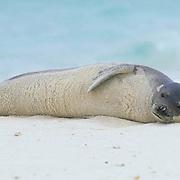 Hawaiian Monk Seal, (Monchus schauinslandi) Midway Island. Hawaii.