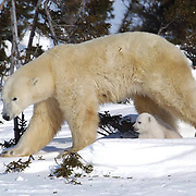Mother and cub polar bear traveling towards Hudson Bay passes through a spruce forest in Wapusk National Park. It'Southeast arly March and the temperatures are -46F, this is the time mother and cubSoutheast merge from the den. Manitoba, Canada