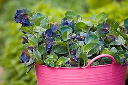 Bucket of picked Cerinthe major 'Purpurascens'