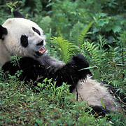 Giant Panda, (Ailuropoda melanoleuca)  Eating bamboo. Wolong Natural Reserve. Sichuan, China.  Captive Animal.