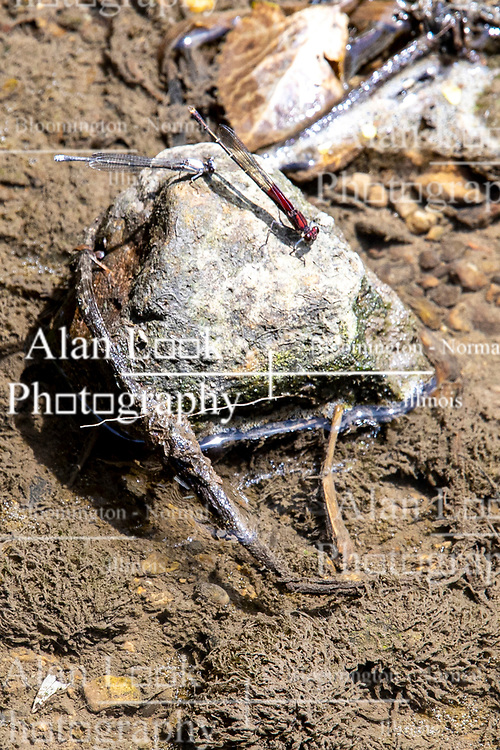 Powdered Dancer (Argia moesta) and American Rubyspot (Hetaerina americana) share a rock in the middle of a small clear running stream in Central Illinois