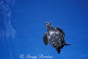 Kemp's ridley sea turtle hatchling, <br /> Lepidochelys kempii, endangered,<br /> in open ocean off nesting beach,<br /> Mexico ( Gulf of Mexico )