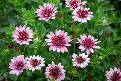 Osteospermum 'Berry White' - African daisy