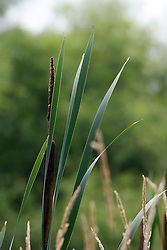 15 Jul 2011: cattails in the Moraine View State Park, LeRoy Illinois