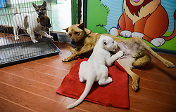 61406140<br /> A two-month-old white lion is fed by a dog at a wildlife park in Hangzhou, capital of east China's Zhejiang Province, April 21, 2014. The white lion cub was born in Hangzhou in February. As its mother refused to feed the cub, a dog was brought here by staff members as its wet nurse,  Monday, 21st April 2014. Picture by  imago / i-Images<br /> UK ONLY