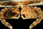 Mosquito (Ochlerotatus japonicus) pupa breathing atmospheric oxygen at surface. Invasive Species, Freiburg, Germany | Puppen der Japanische Buschmücke (Ochlerotatus japonicus). Freiburg, Deutschland