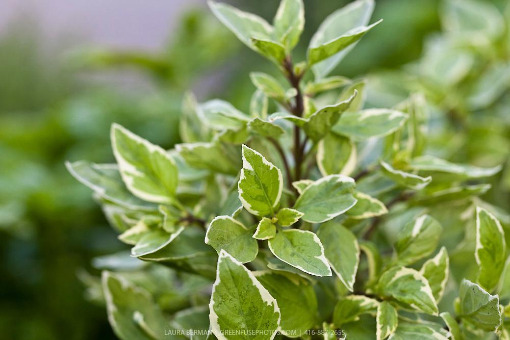 Pesto Perpetuo Basil (Ocimum basilicum citriodorum 'Pesto Perpetuo')