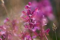 Anacamptis papilionacea ssp. papilionacea; Apulia; Butterfly Orchid; Gargano Peninsula; Italy