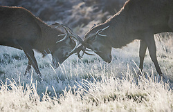 © Licensed to London News Pictures. 04/11/2020. London, UK. Two deer stags rutting in a frost covered landscape at sunrise in Richmond Park, south west London on a cold Autumn morning. Photo credit: Ben Cawthra/LNP