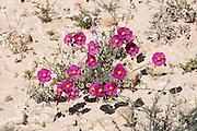 Pink Sun-Rose (helianthemum vesicarium) colorful flowering at spring time in the Negev desert , Israel