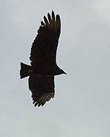 Black Vulture (Coragyps atratus). Image taken with a Nikon D200 camera and 80-400 mm VR lens.
