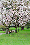 Man on park bench below the Akebono Cherry blossoms at Stanley Park, Vancouver, British Columbia, Canada
