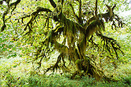 Hoh River Rain Forest - Olympic National Park