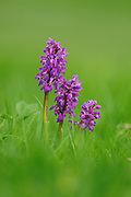Early Purple Orchids Orchis mascula, Chee dale, Peak District