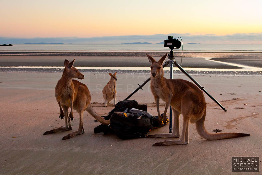 Two Eastern Grey Kangaroos and an Agile Wallaby come up to check the tripod and camera settings on a beach in the Whitsundays.<br /> <br /> Open Edition Print