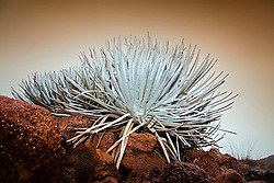 Mauna Kea Silversord, Argyroxiphium sandwicense ssp. sandwicense, endangered species, endemic to Big Island of Hawaii, Mauna Kea, Big Island, Hawaii