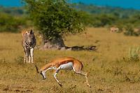 Springbok jumping, Nxai Pan National Park, Botswana.