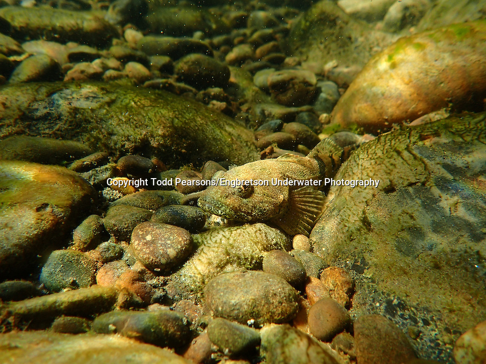 Torrent Sculpin<br /> <br /> Todd Pearsons/Engbretson Underwater Photography