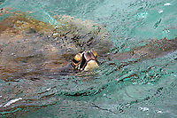 Skilpadde, Pasific green turtle, Hawaiian green sea turtle, Hawaiian name: Honu, Chelonia mydas agassizii