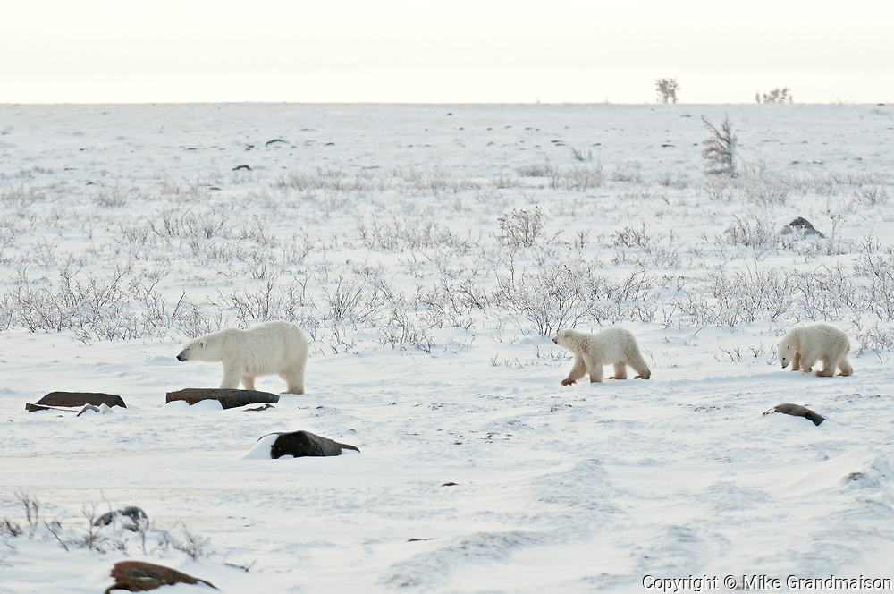 Polar bear sow and two cubs Ursus maritimus on frozen tundra<br />Churchill<br />Manitoba<br />Canada