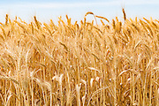 Heads of golden barley before harvesting on a farm  in rural Murtoa, Victoria, Australia - some snails on wheat stalks. <br /> <br /> Editions:- Open Edition Print / Stock Image