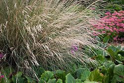 Poa labillardierei. New Zealand blue grass