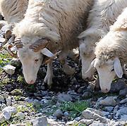 Sheep graze on sparse grass in a mountain valley. Teth, Tethi, Albania. 02Sep15