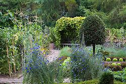 The vegetable garden at Ballymaloe Cookery school. Clipped standard bay tree, sweetcorn, golden hop arbour ( Humulus lupulus 'Aureus'  ) and cornflowers