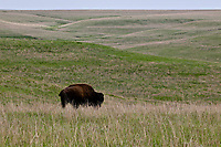 Bison, Tallgrass Prairie National Preserve, Kansas