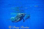 adult short-finned pilot whales, Globicephala macrorhynchus, swimming in open ocean (large male on left), Kona, Hawaii ( the Big Island ), U.S.A. ( Central Pacific Ocean )