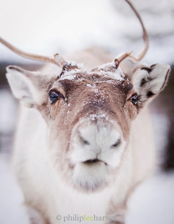 Reindeer in Lemmenjoki National Park, Lapland, Finland.
