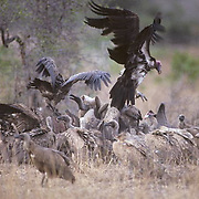 Lappetfaced Vulture, with whitebacked vultures tearing into kill remains of water buffalo. Africa.