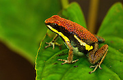 Poison Arrow Frog (Epipedobates sp.) new species<br /> Amazon Rain Forest. ECUADOR
