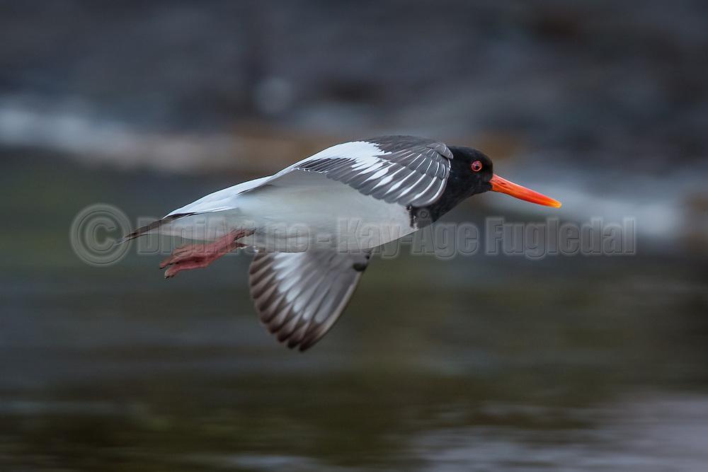 Oystercatcher in flight | Tjeld i flukt
