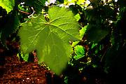 A malbec leaf backlit  Chateau Bouscaut Cru Classe Cadaujac  Graves Pessac Leognan  Bordeaux Gironde Aquitaine France