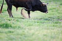 Ganado bravo, fighting bulls<br /> Ciudad Rodrigo, Salamanca Region, Castilla y León, Spain